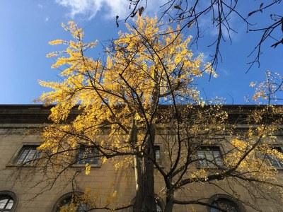 Gingko-Baum im Hof